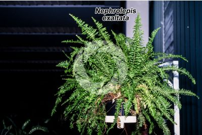Nephrolepis exaltata