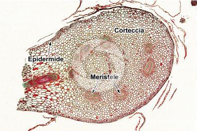 Polypodium sp. Rizoma. Dictiostele. Sezione trasversale. 32X