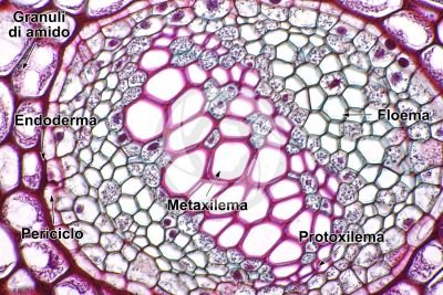 Polypodium sp. Rizoma. Meristele. Sezione trasversale. 500X