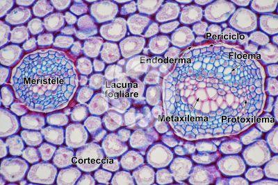 Polypodium sp. Rizoma. Dictiostele. Sezione trasversale. 250X