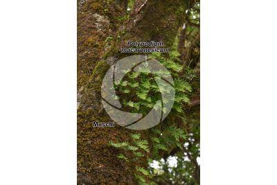 Polypodium macaronesicum
