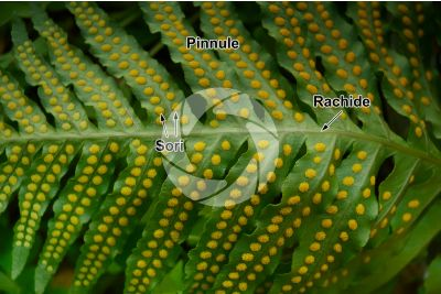 Polypodium macaronesicum. Foglia