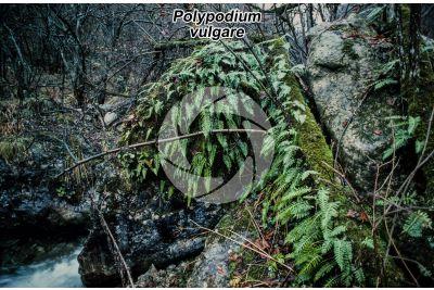 Polypodium vulgare. Felce dolce
