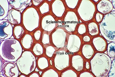 Pteridium sp. Rhizome. Transverse section. 500X