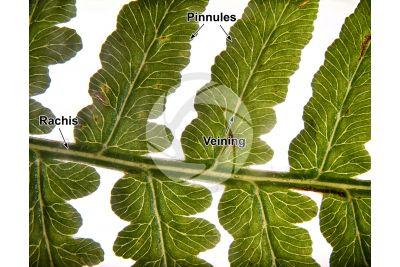 Pteridium aquilinum. Bracken. Leaf