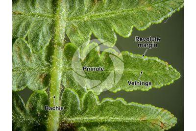 Pteridium aquilinum. Bracken. Leaf. 5X