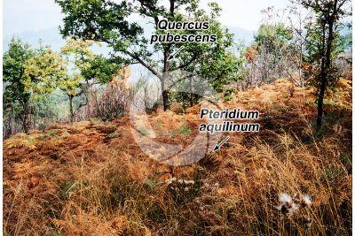 Pteridium aquilinum. Felce aquilina