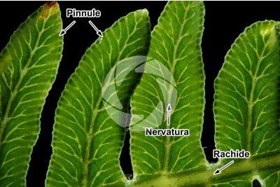 Pteridium aquilinum. Felce aquilina. Foglia