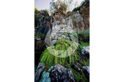 Woodwardia radicans. Felce bulbifera