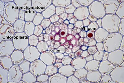 Psilotum nudum. Whisk fern. Stem. Protostele. Transverse section. 500X