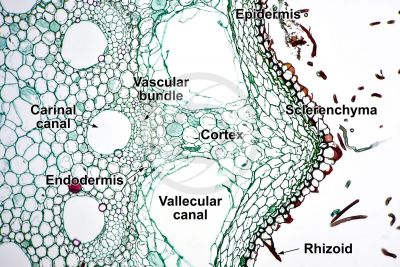 Equisetum arvense. Field horsetail. Rhizome. Transverse section. 125X