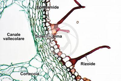 Equisetum arvense. Equiseto dei campi. Rizoma. Sezione trasversale. 250X