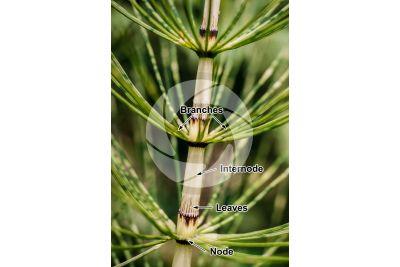 Equisetum arvense. Field horsetail. Sterile stem