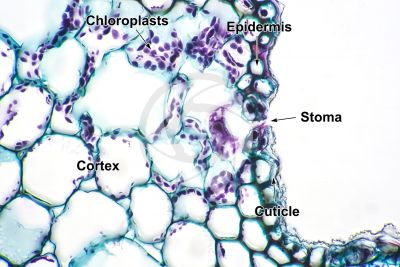 Equisetum arvense. Field horsetail. Sterile stem. Transverse section. 500X