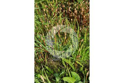 Equisetum arvense. Equiseto dei campi. Fusto fertile