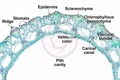 Equisetum fluviatile. Water horsetail. Rhizome. Transverse section. 64X