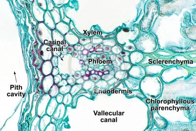 Equisetum fluviatile. Water horsetail. Rhizome. Vascular bundle. Transverse section. 500X