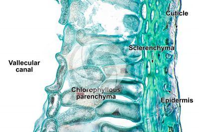 Equisetum fluviatile. Water horsetail. Rhizome. Transverse section. 500X