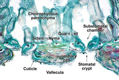 Equisetum fluviatile. Water horsetail. Rhizome. Stoma. Transverse section. 500X