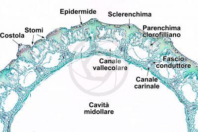 Equisetum fluviatile. Equiseto dei fiumi. Rizoma. Sezione trasversale. 64X