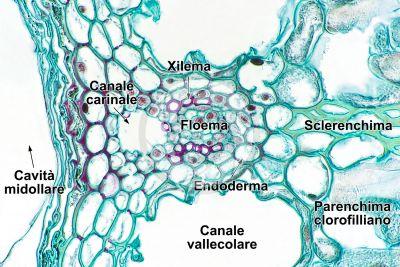 Equisetum fluviatile. Equiseto dei fiumi. Rizoma. Fascio conduttore. Sezione trasversale. 500X