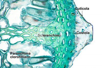 Equisetum fluviatile. Equiseto dei fiumi. Rizoma. Sezione trasversale. 500X
