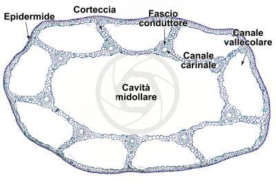 Equisetum fluviatile. Equiseto dei fiumi. Fusto sterile. Sezione trasversale. 32X