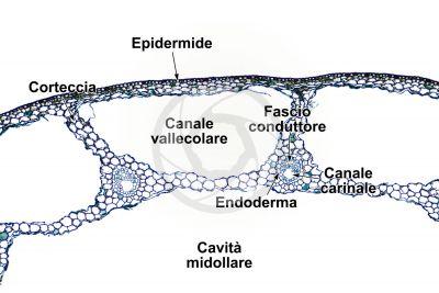 Equisetum fluviatile. Equiseto dei fiumi. Fusto sterile. Sezione trasversale. 64X