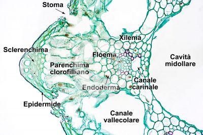 Equisetum giganteum. Equiseto gigante. Fusto sterile. Fascio conduttore. Sezione trasversale. 250X