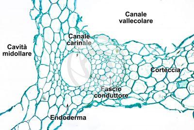 Equisetum intermedium. Rizoma. Fascio conduttore. Sezione trasversale. 250X