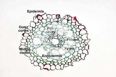 Equisetum intermedium. Root. Transverse section. 125X
