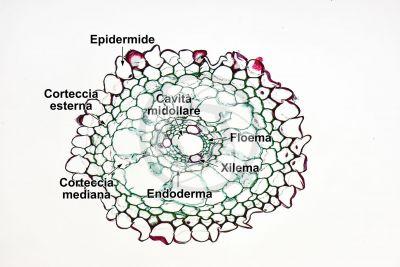 Equisetum intermedium. Radice. Sezione trasversale. 125X