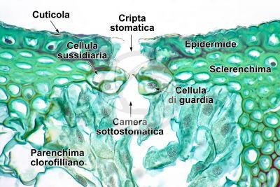 Equisetum intermedium. Fusto sterile. Stoma. Sezione trasversale. 500X