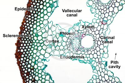Equisetum laevigatum. Smooth horsetail. Rhizome. Vascular bundle. Transverse section. 125X