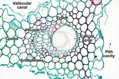 Equisetum laevigatum. Smooth horsetail. Rhizome. Vascular bundle. Transverse section. 250X