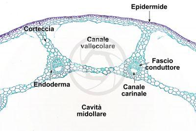 Equisetum laevigatum. Fusto sterile. Sezione trasversale. 64X
