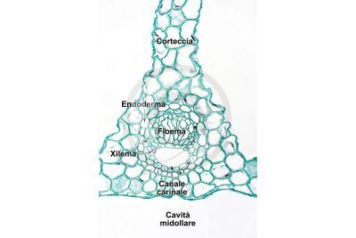 Equisetum laevigatum. Fusto sterile. Fascio conduttore. Sezione trasversale. 250X