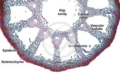 Equisetum litorale. Rhizome. Transverse section. 64X