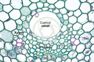 Equisetum palustre. Marsh horsetail. Rhizome. Vascular bundle. Transverse section. 500X