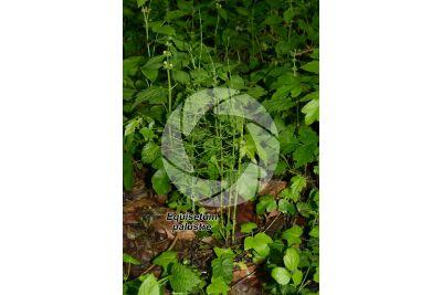 Equisetum palustre. Equiseto palustre. Fusto sterile