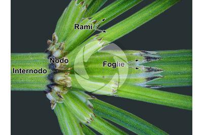 Equisetum palustre. Equiseto palustre. Fusto sterile. 5X