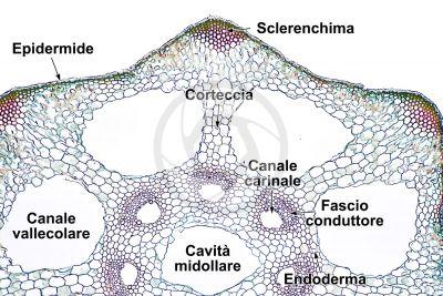Equisetum palustre. Equiseto palustre. Fusto sterile. Eustele. Sezione trasversale. 64X