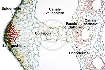 Equisetum palustre. Equiseto palustre. Fusto sterile. Eustele. Sezione trasversale. 125X