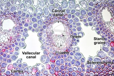 Equisetum robustum. Rhizome. Vascular bundle. Transverse section. 125X