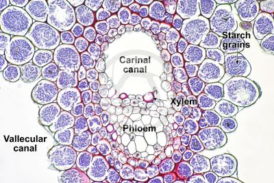 Equisetum robustum. Rhizome. Vascular bundle. Transverse section. 250X