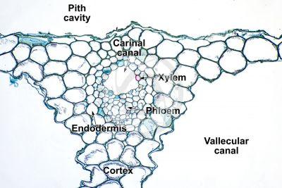 Equisetum scirpoides. Dwarf horsetail. Sterile stem. Vascular bundle. Transverse section. 250X