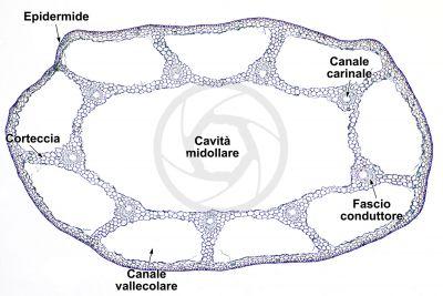 Equisetum scirpoides. Fusto sterile. Sezione trasversale. 32X