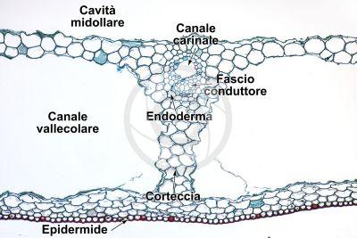 Equisetum scirpoides. Fusto sterile. Sezione trasversale. 125X