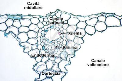 Equisetum scirpoides. Fusto sterile. Fascio conduttore. Sezione trasversale. 250X