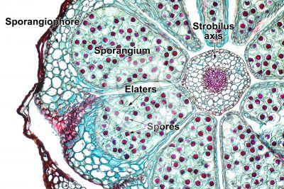 Equisetum scirpoides. Dwarf horsetail. Strobilus. Transverse section. 125X